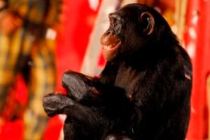 macaco-novela-caras-e-bocas